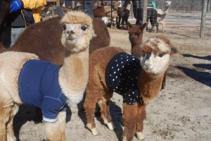 alpaca_sweater